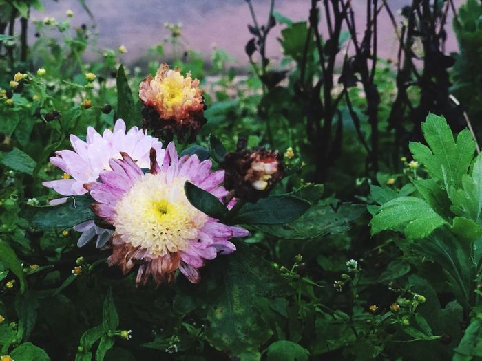 Landscape Purple Pink Flower Plant Flower Flowering Plant Growth Vulnerability  Fragility Freshness