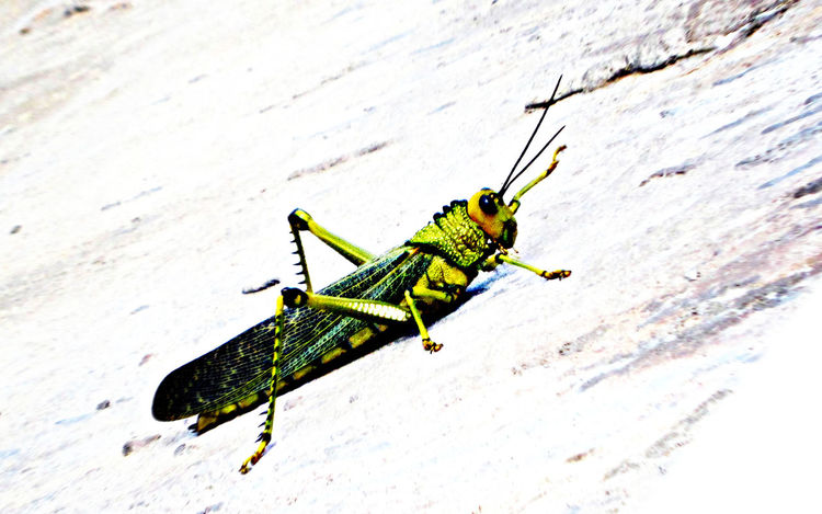 A Grasshopper on a rock in Campeche, Mexico Animal Themes Animal Wildlife Animals In The Wild Campeche Close-up Day Grasshopper Green Insect Locust Nature Nature No People One Animal Outdoors White