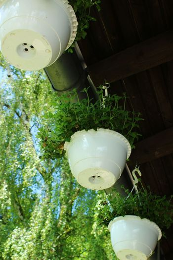 Low angle view of lanterns hanging on plant