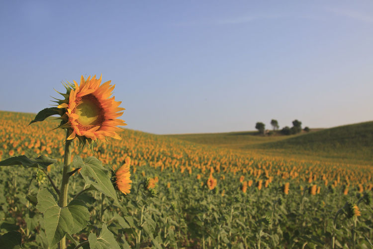 Close-Up Of Sunflower Growing On Field Against Sky