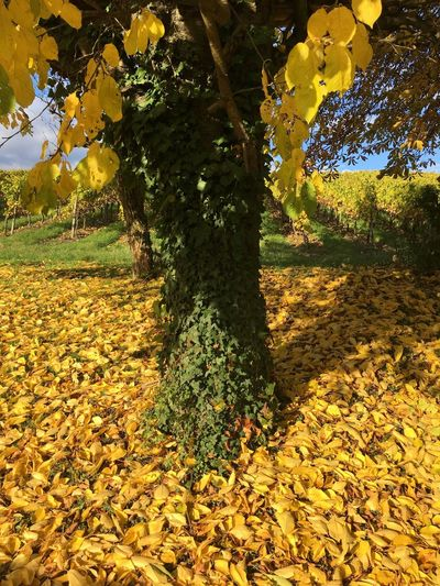 Tree Growth Nature Yellow Autumn Beauty In Nature Leaf Fruit Change Outdoors Freshness Healthy Eating Day No People Scenics