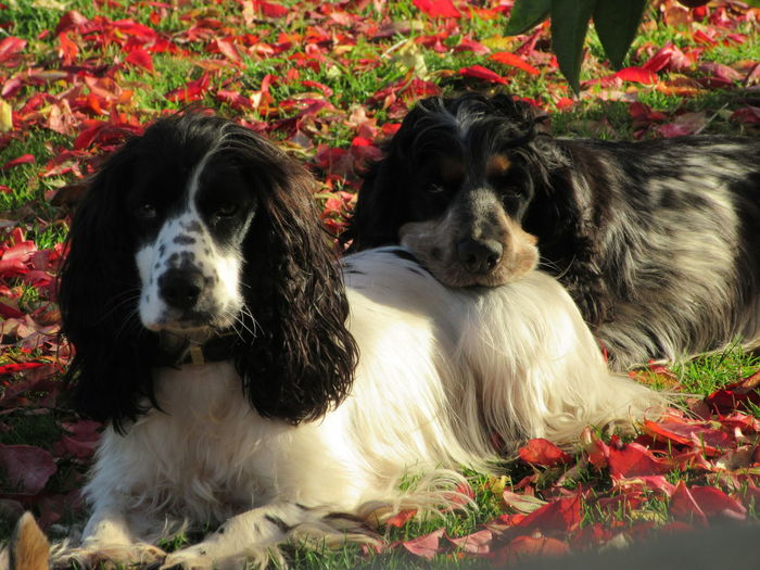 Autumn Leaves Cocker Spaniels Dogs, Friends ❤ Head Rest My Mate Peace Rescue Dogs SUPPORT Togther