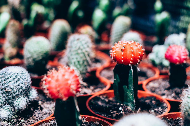 cactus Selective Focus No People Close-up Growth Beauty In Nature Plant Day Succulent Plant Cactus Nature Potted Plant Outdoors Freshness Botany Food Full Frame Green Color Thorn Backgrounds Object Isolated Copy Space Cactus Red Color Orange Color Springtime Decadence