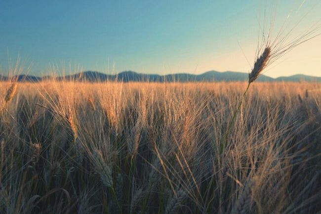 nostalgia Things I Like Open Edit Wheat Field Summertime Essence Of Summer Nature_collection Nature Photography