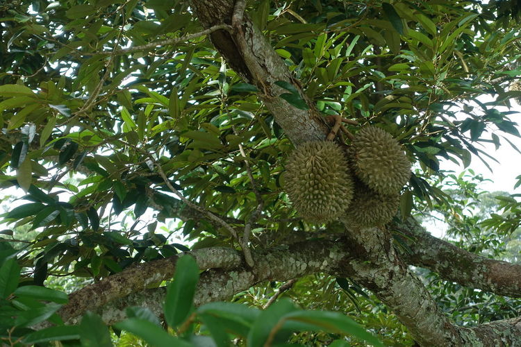 Low angle view of bananas on tree