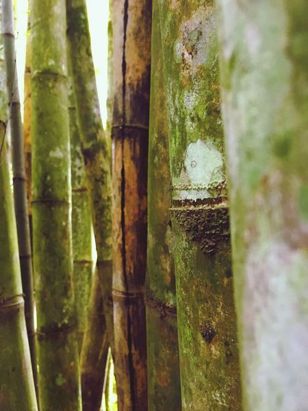 Tree Trunk Tree Nature Outdoors Textured  Close-up Bamboo Forest Wood Textured  Group Of Trees Mothernature Beauty In Nature