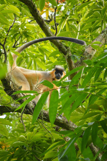 Capped Langur Capped Langur One Animal Animals In The Wild Nature Tree Day Outdoors Beauty In Nature Taking Photos Monkey Forest Monkey Alpha Male Assam, India The Great Outdoors - 2017 EyeEm Awards Eye Em Nature Lover Eyeemphotography EyeEm Nature Lover Eyemphotography