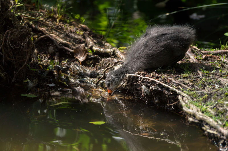 Eurasian coot drinking water in pond