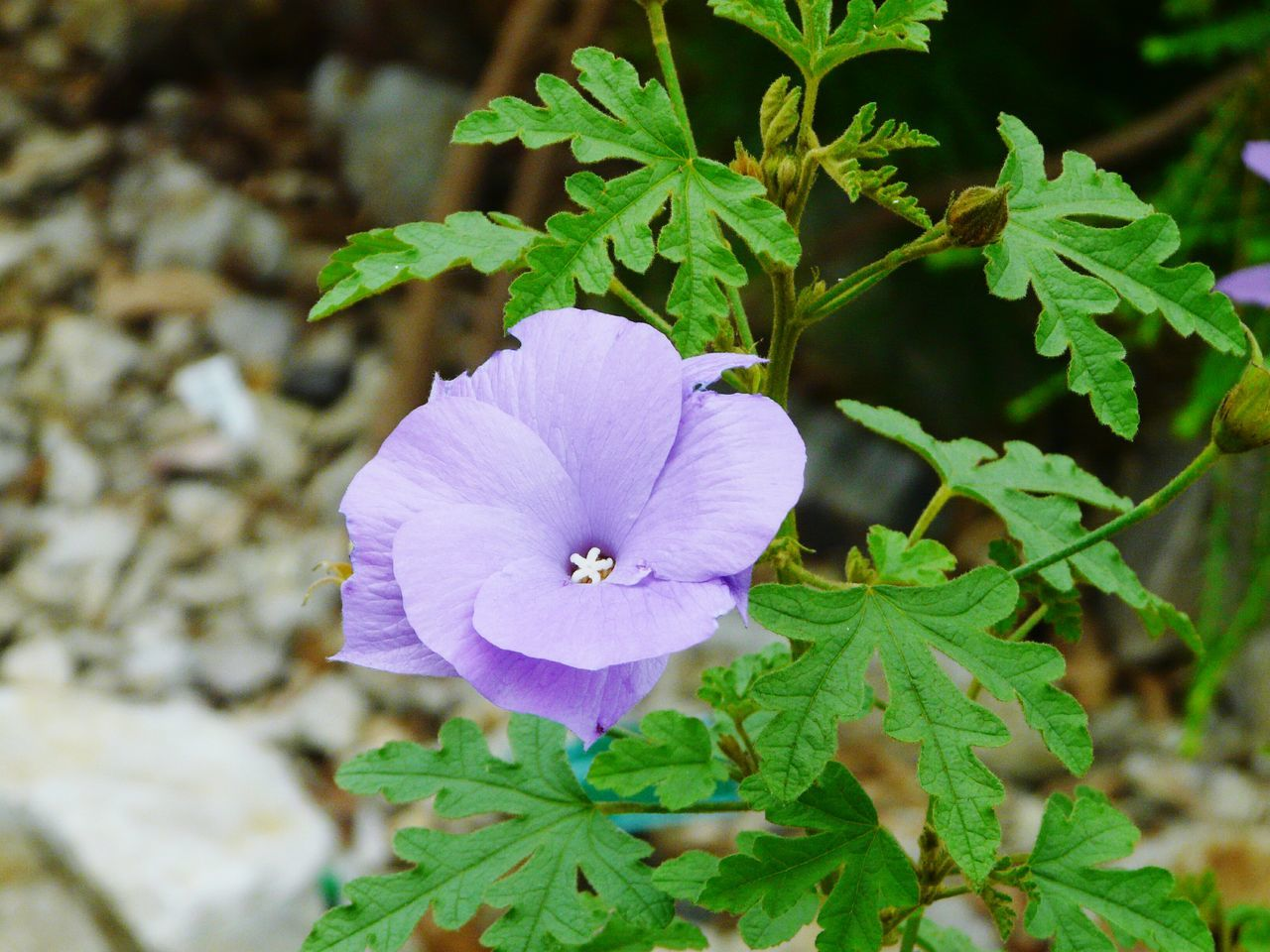 flower, plant, nature, beauty in nature, fragility, petal, growth, freshness, flower head, no people, leaf, close-up, blooming, green color, day, outdoors, petunia