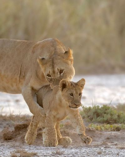 Lioness with cub on ground