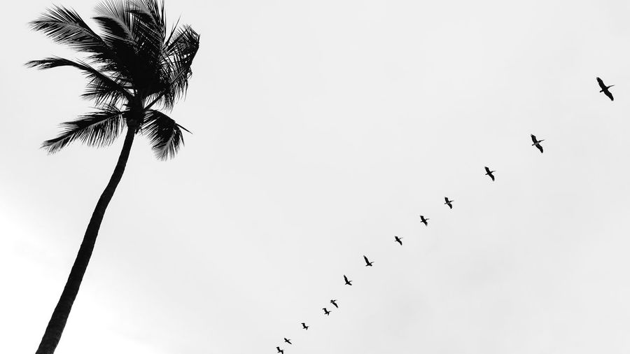 Low angle view of silhouette birds flying against clear sky