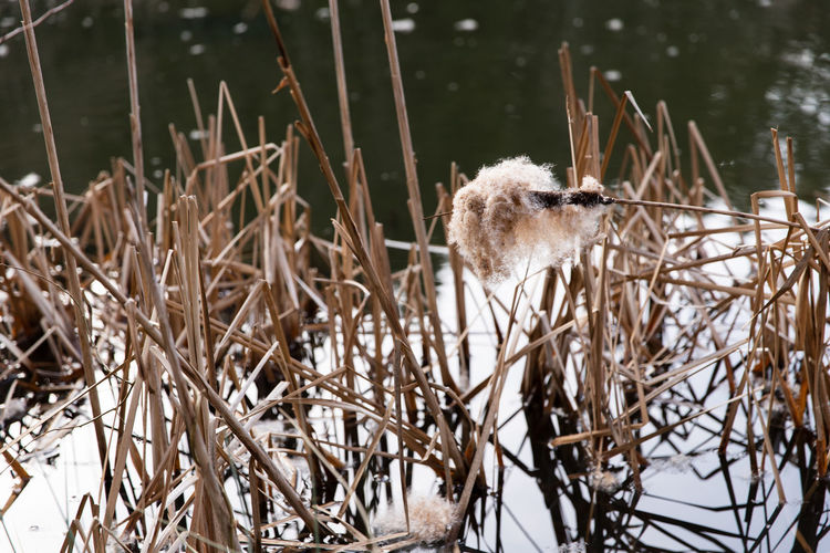 reeds in cold frozen water Plant Nature Day Outdoors Cold Temperature Animal Themes Animal Animal Wildlife One Animal Vertebrate Animals In The Wild No People Bird Tree Focus On Foreground Water Winter Snow Branch Water Reed Reed