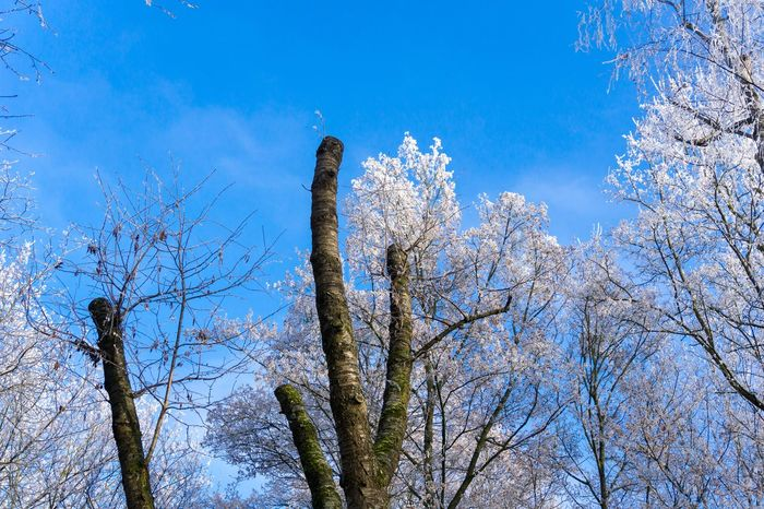 Winter trees Winter Trees Blue Sky Clear Cold Outdoor Nature Branches Treetops Treetop Low Angle View Growth No People Outdoors Landscape Full Frame High BIG Peaceful Snow Frozen Hoar Frost Oxygen Perspectives