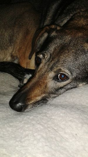 I Love My ! I Love My Animals! Love All Animals. This is Pepper, she's German Shepard/grey hound. long legs fast runner and as obedient as a Shepard! Best dog in my world! Hello World Bigtime Animal Lover!