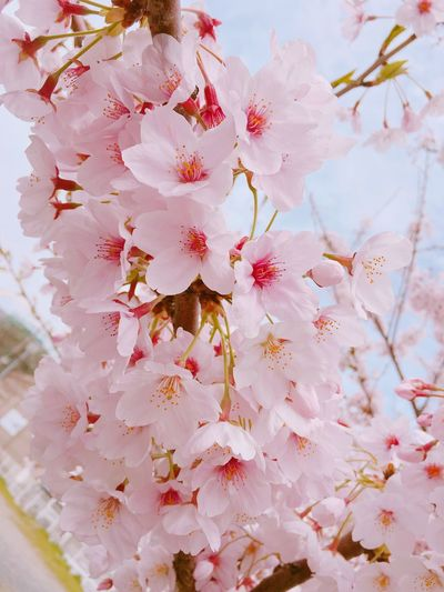 IPhoneography Cherry Blossoms Flowers Pink Pink Flower ❤️ Japan Fukuoka