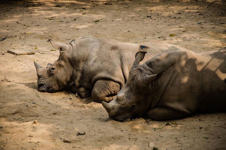 Elephant sleeping in a field