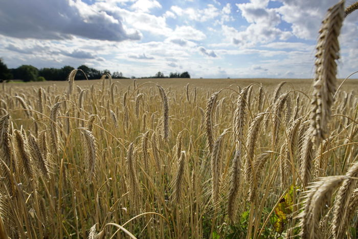Roggenfeld Agriculture Beauty In Nature Cereal Plant Close-up Cloud - Sky Crop  Day Field Growth Landscape Nature No People Outdoors Roggen Rural Scene Rye - Grain Scenics Sky Tranquil Scene Tranquility Wheat