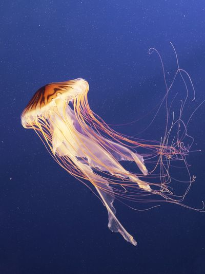 View of lions mane jellyfish swimming in sea