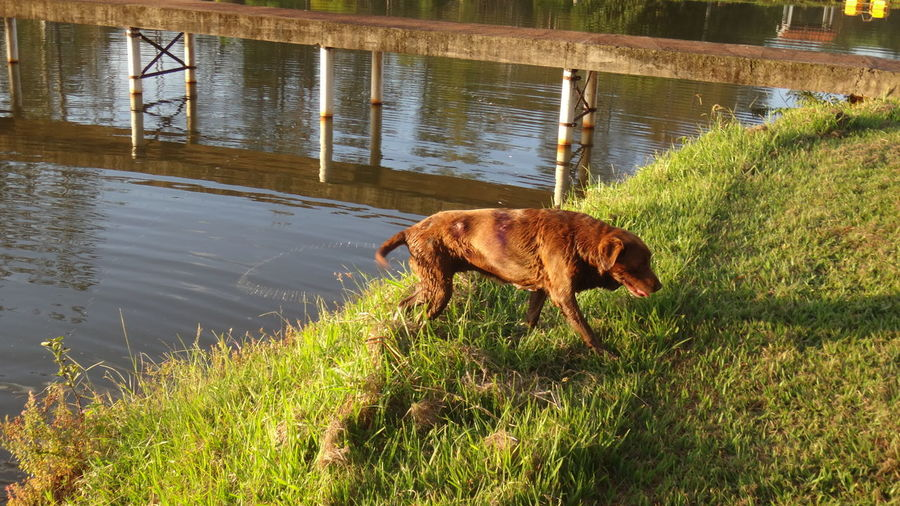 Side view of dog walking on grass
