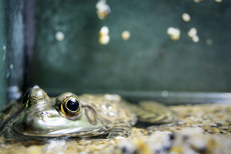 Amphibian Animal Body Part Animal Head  Close-up Detail Focus On Foreground Frogs Golden Eye Looking Nature No People Reptiles Rippled Selective Focus Swimming Water
