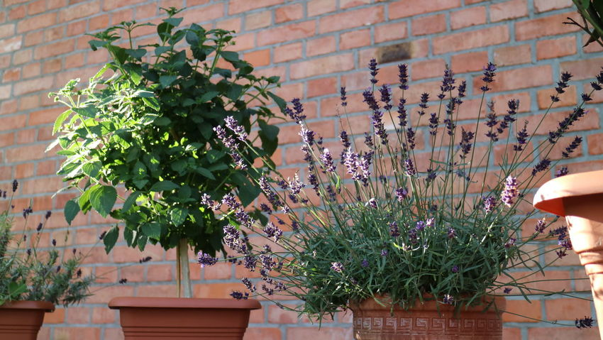 Balkon Blue Blumentopf Close-up Day Decor Decoration Flower Flower Pot Fragility Freshness Growth Houseplant Indoors  Lavendel Nature Pflanzen Plant Pot Plant Potted Plant Terrace Töpfe Wall - Building Feature Zeigelwand Ziegel