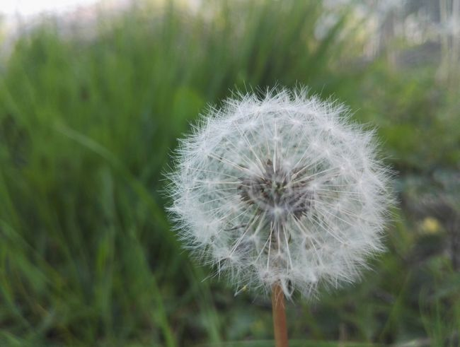 Flower Dandelion Nature Softness Fragility Focus On Foreground Beauty In Nature For The Love Of Flowers Flowers Light Dark And Light Outdoors