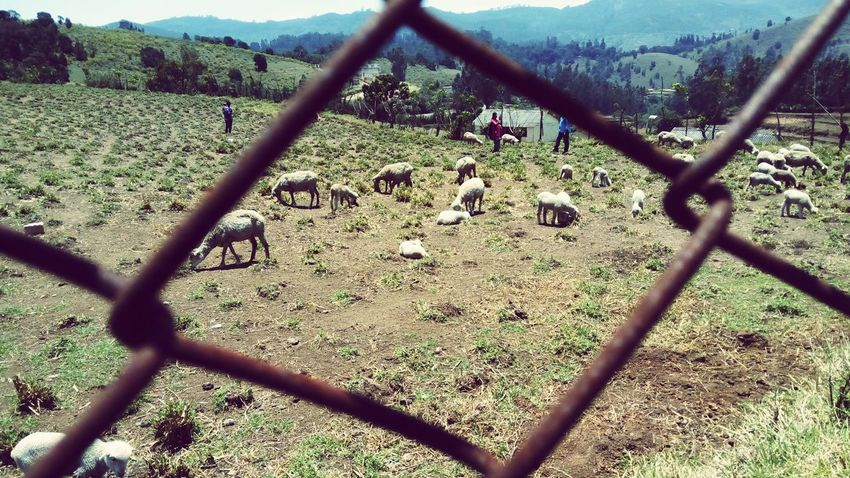 Sheep PhonePhotography Grazing People Fence Throughthefence Wool Sheep Farm Greenery