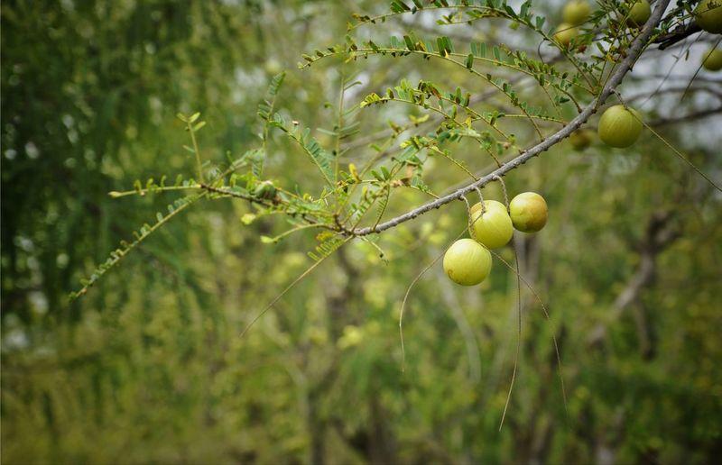 Gooseberries growing on tree