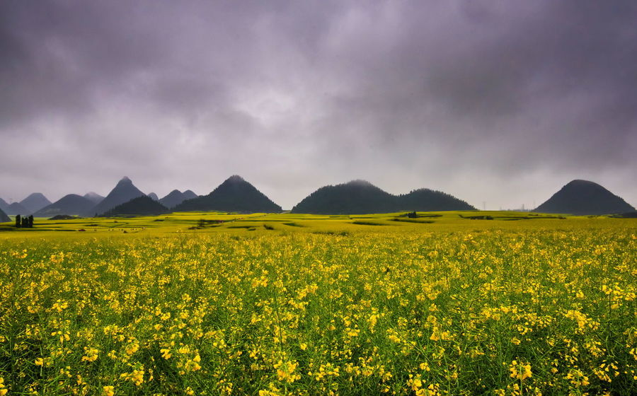 Canola field, rapeseed flower field with the mist in Luoping, China Luoping Rain Rapeseed Field Aerial View Beauty In Nature Canola Canola Field Day Field Flower Fog Hill Landscape Mist Mountain Mountain Range Nature No People Outdoors Rapeseed Oil Rapeseed Yellow Tadaa Rural Scene Scenics Sky Tourism Tranquil Scene Tranquility Village Yellow