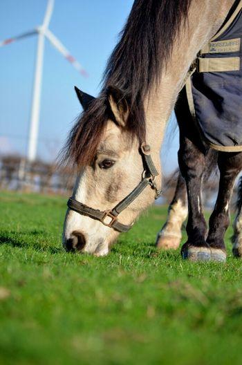 This is my horse Lian! I love him!<3 Horse Irish HannaHBraBPhotography Connemarapony