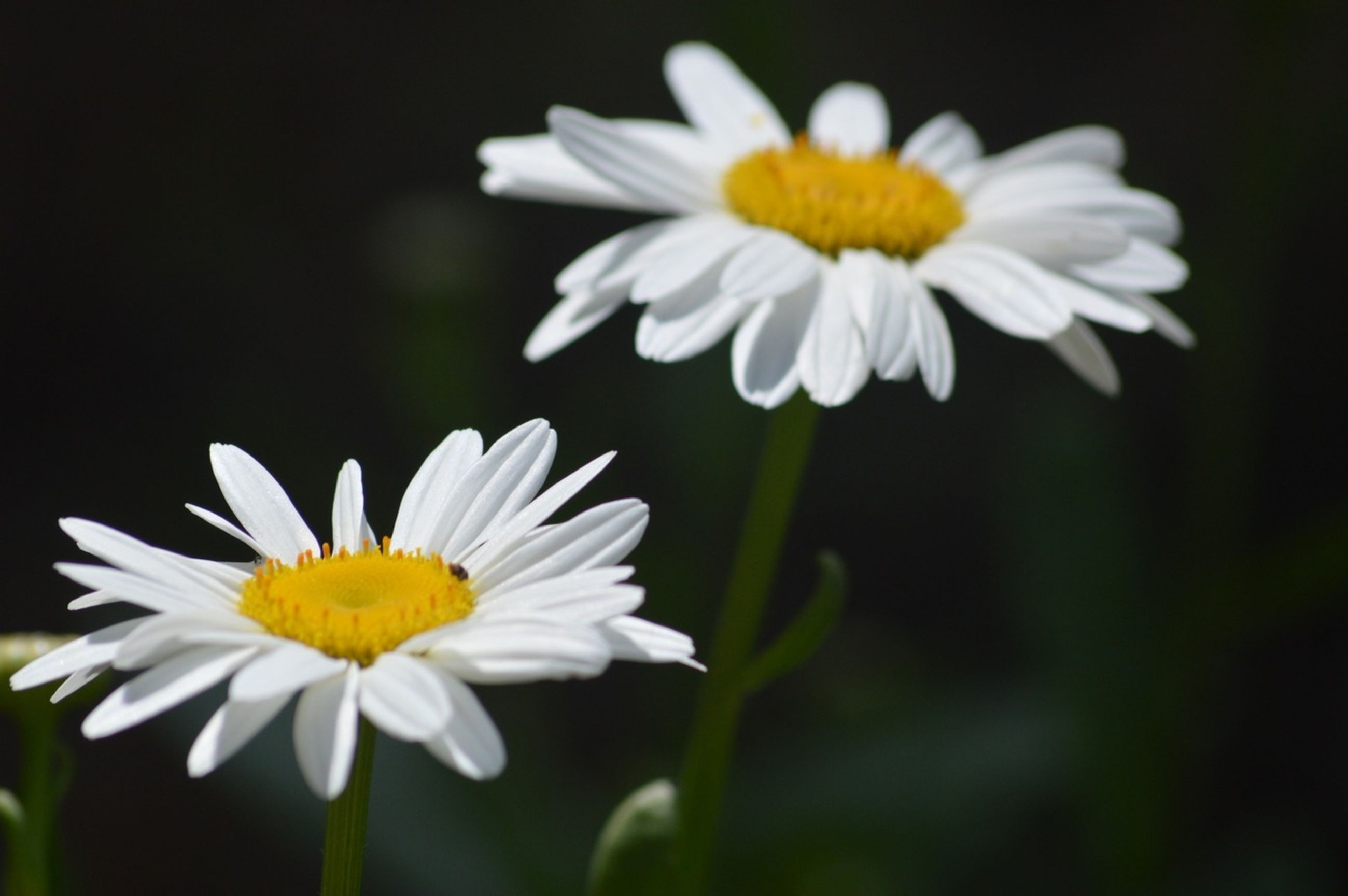 flower, petal, freshness, fragility, flower head, white color, growth, beauty in nature, daisy, focus on foreground, yellow, close-up, blooming, nature, pollen, plant, white, stem, in bloom, blossom