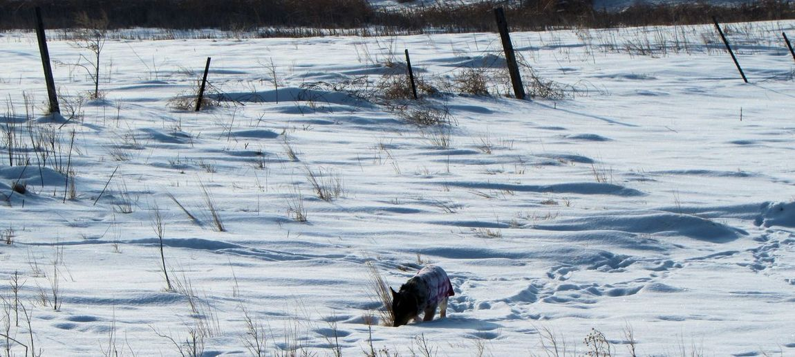 Dog playing in snow covered field
