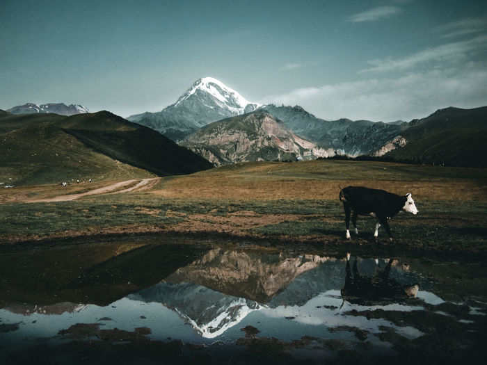 Cow by water against mountain
