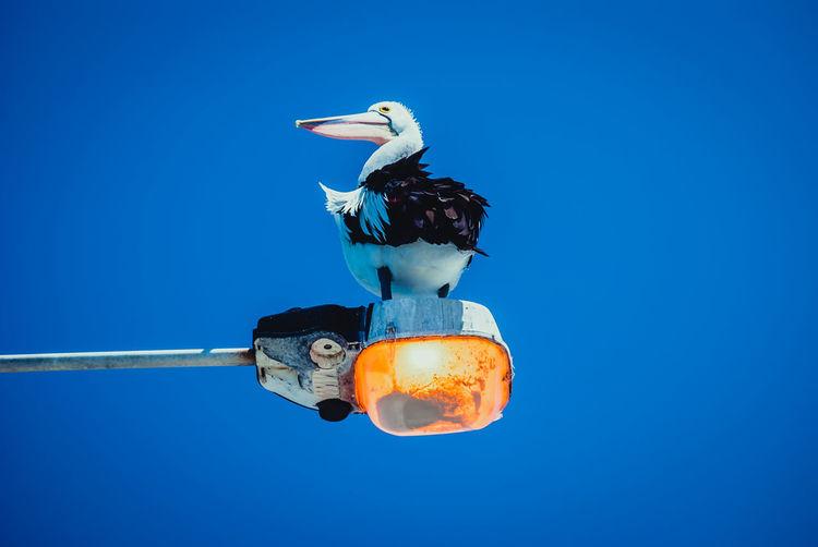 Ein pelikan sitzt auf einer erleuchteten lampe.
