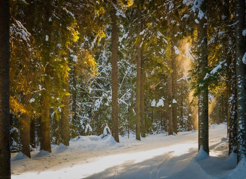 Snow Tree Cold Temperature Winter Plant Beauty In Nature Scenics - Nature Nature Land Environment Forest Landscape Non-urban Scene Covering Pine Tree Coniferous Tree No People Tree Trunk
