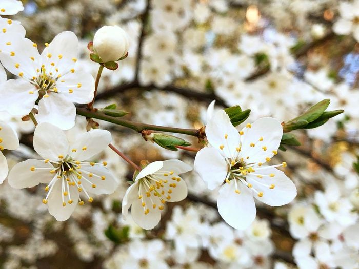 Flowers White Spring Summer Sun Nature Tree Backgrounds Wallpaper Flower Flowering Plant Fragility Plant Beauty In Nature Vulnerability  Growth Freshness Petal Close-up Springtime Pollen Blossom Branch White Color Cherry Blossom Twig Inflorescence Flower Head No People Outdoors Cherry Tree Plum Blossom