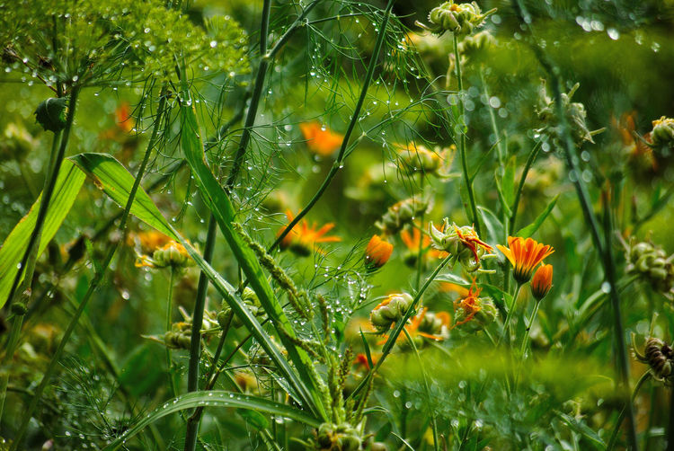 Dill Beauty In Nature Close-up Day Dew Drop Flower Flowering Plant Fragility Freshness Green Color Growth Leaf Marigolds Nature No People Outdoors Plant Plant Part Rain RainDrop Selective Focus Vulnerability  Water Wet The Great Outdoors - 2018 EyeEm Awards