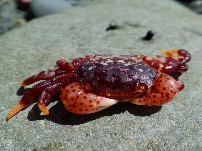 Crab Micro Micro Nature Ocean Wildlife Sea Crab Sea Crabs Animal Themes Animals In The Wild Close-up Crab On A Rock Day Nature No People One Animal Outdoors Red Crab Sea Creatures Sea Life