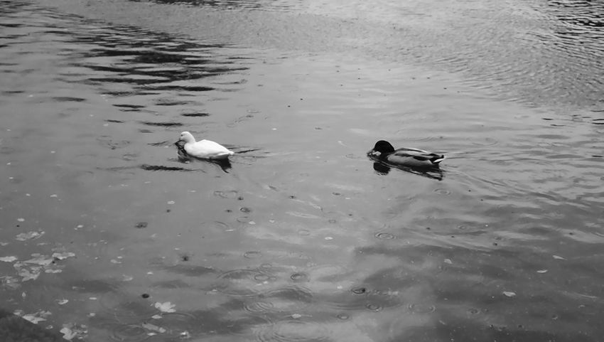Black and white picture of two ducks swimming in the water Animal Themes Animal Wildlife Animals In The Wild Bird Copy Space Day Ducks Lake Nature Outdoors Swimming Swimming Away Togetherness Two Ducks Water