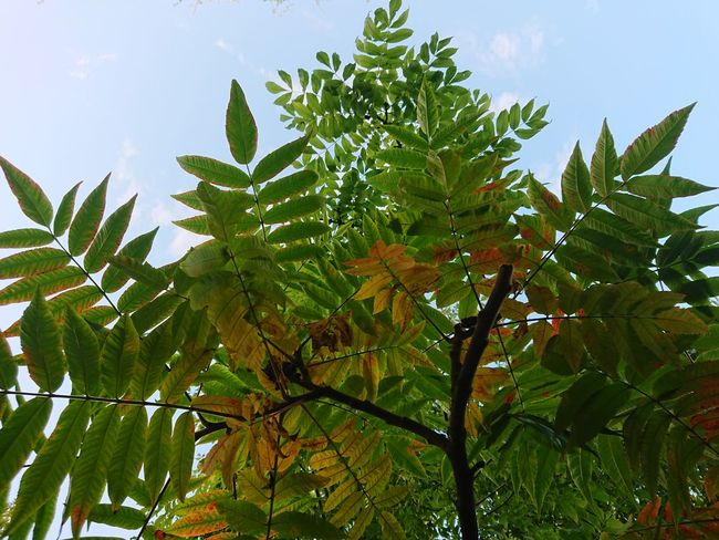Tree Low Angle View Green Color Beauty In Nature Nature Leaf No People Sky Branch Growth Day Outdoors Fruit Freshness Flower Close-up