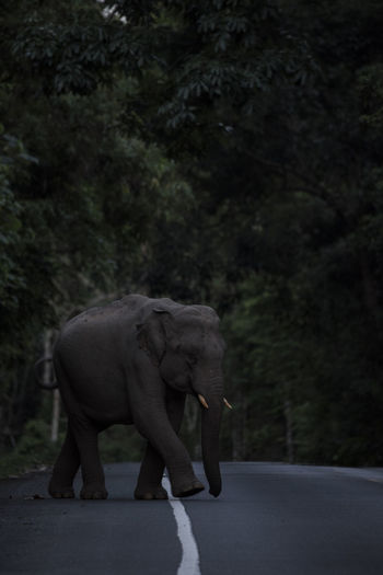Elephant Crossing Road In Forest