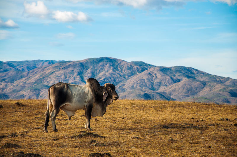 Side view of bull standing on field by mountain against blue sky