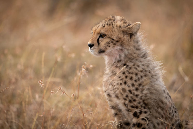 Cheetah sitting in forest