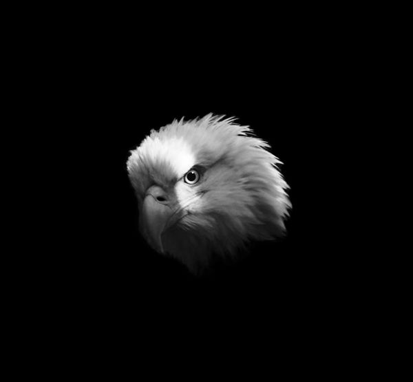 Bald Eagle Portrait Animal Themes Animal Wildlife Animals In The Wild Bald Eagle Close-up Beauty In Nature Bird Bird Of Prey Black Background Close-up Copy Space Eagle Portrait Nature Night No People One Animal Outdoors Owl Pets Studio Shot