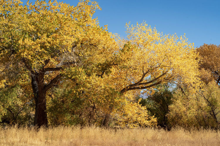 yellow leaves of autumn trees in Bishop, California USA Tree Plant Autumn Yellow Sky Nature Beauty In Nature Landscape Day Scenics - Nature No People Land Change Tranquility Outdoors Environment Growth Tranquil Scene Semi-arid Yellow Color Autumn Leaves California autumn mood Autumn Landscape Tree Leaves
