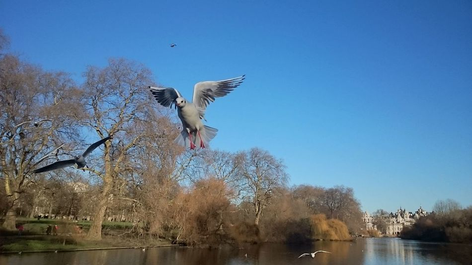 Taking Photos Cheese! Enjoying Life Bird Photography Blue Sky Water Reflections Birds🐦⛅ St James Park London  SEAGULL IN FLIGHT Seagulls Landscape_photography Landscape_Collection Animals Posing Capturing Movement Animal Themes Photography In Motion