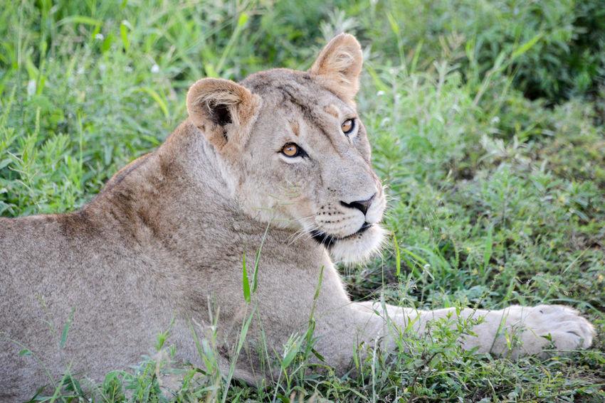 Safari in Hlane Royal National Park in Swaziland. Hlane Hlane Royal National Park Lion National Park Swaziland  Wildlife & Nature Animal Themes Animal Wildlife Animals In The Wild Grass Lion - Feline Lioness Nature One Animal Outdoors Safari Safari Animals