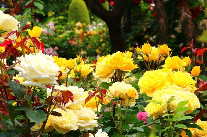 Rose♥ Eye Em Nature Lover Flower