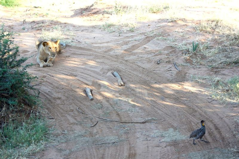 Bird Fun FUNNY ANIMALS Thrillseeker Thrill Lion Dusty Hunt Diner Dinner Time Safari Wildlife & Nature
