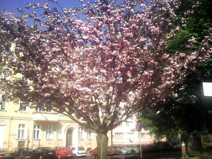 Щецин.Магнолия цветет First Eyeem Photo